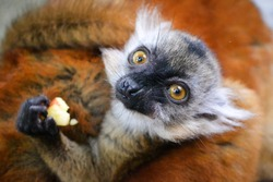 Female cub of a black lemur sitting on her mother's back, eating fruit, a piece of apple, zoo eclosure