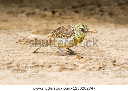 Female D'Arnaud African barbet bird with bug in its beak standing on ground at Serengeti National Park in Tanzania, East Africa (Trachyphonus darnaudii)