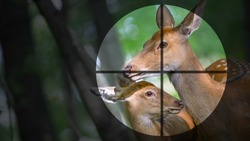 Female deer and cub in sight. The concept of hunting or poaching.