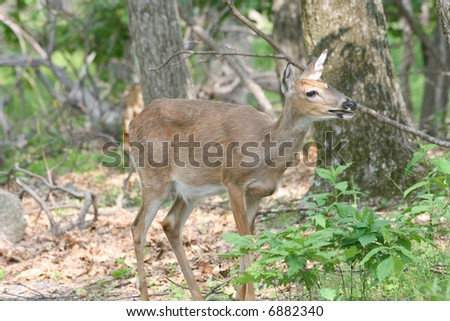 Female Deer in Forest