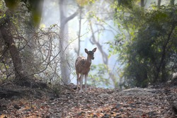 Female deer is standing alone in the forest and the sunlight in the background is very beautiful