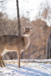 Female deer side view standing alone in the snowy winter park at Seoul Forest, South Korea
