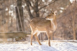 Female deer standing alone at the snowy grounds