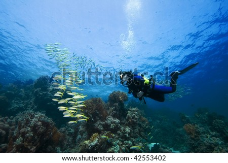 Female diver and Goatfish over a beautiful coral reef in the Red Sea, Egypt #42553402