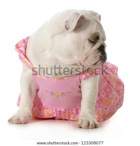 female dog - english bulldog wearing pink dress isolated on white background
