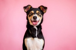 female dog in pink background. pet portraits. happy animals