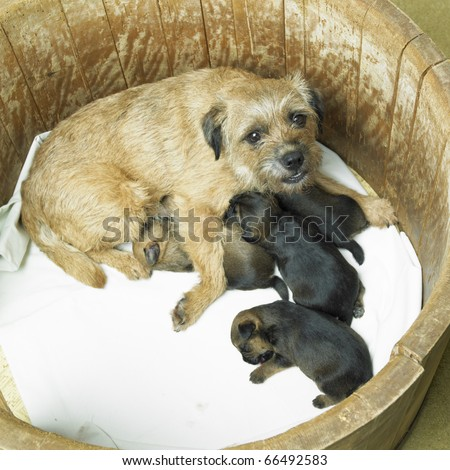 Border Terrier Puppies on Female Dog With Puppies  Border Terrier  Stock Photo 66492583