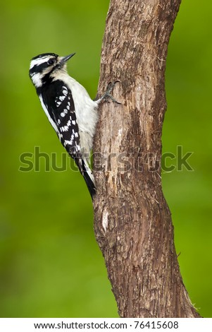 Female Downy Woodpecker (Picoides pubescens) perching on a tree.