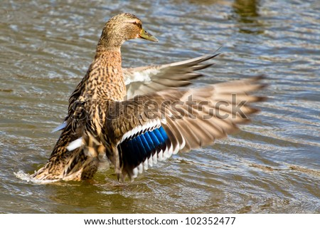 Female duck waving wings in the pond