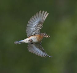 female eastern blue bird flying in with food for babies