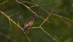 female eastern blue bird on tree branch with food for babies