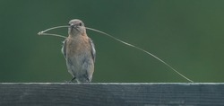 female eastern blue bird resting on fence board with pine needle nesting material