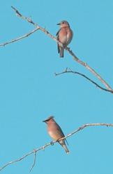 female eastern bluebird on a tree snag with a cedar waxwing bird