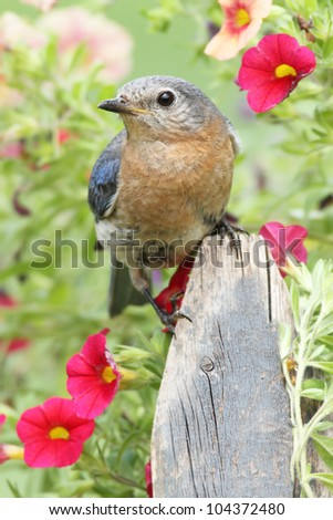 Female Eastern Bluebird (Sialia sialis) on a fence with flowers - stock photo