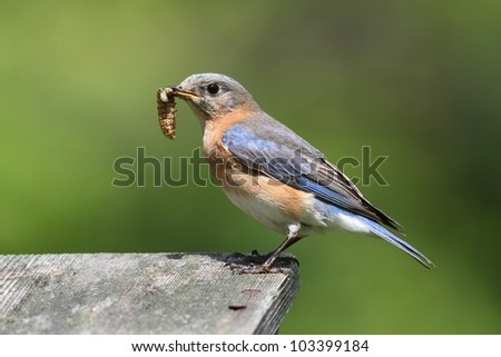Female Eastern Bluebird (Sialia sialis) with an insect and a green background