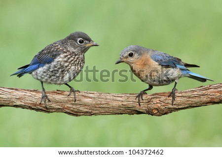 Female Eastern Bluebird (Sialia sialis) with her baby