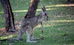 Female Eastern Grey Kangaroo (Macropus giganteus)