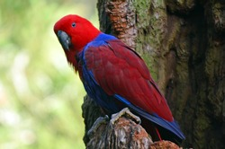 Female Eclectus Parrot sit on a tree branch in the Australian rainforest.