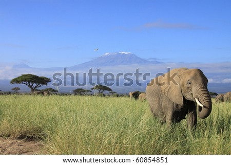 Female elephant with Mount Kilimanjaro in the background