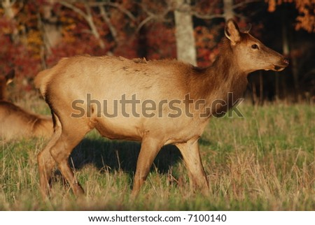 Female Elk at Land Between The Lakes State Park in Kentucky