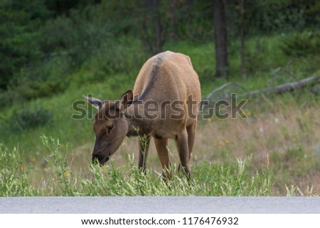 Female Elk eating grass along the road at Jasper National Park Alberta Canada