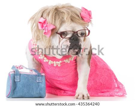 female english bulldog dressed up like a human on white background #435364240