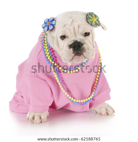 female english bulldog wearing pink clothing sitting with reflection on white background