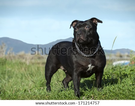 Female english staffordshire bull terrier #171214757