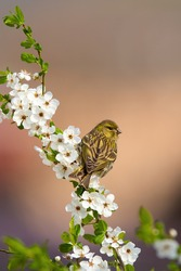Female eurasian siskin, spinus spinus, sitting on a blooming twig of tree in orchard. Vertical composition of garden bird sitting among flourishing flowers from back view with copy space.