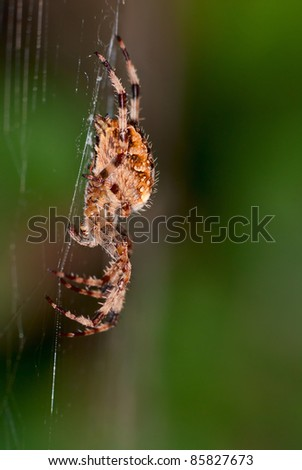 Female European garden spider (Araneus Diadematus) on the web