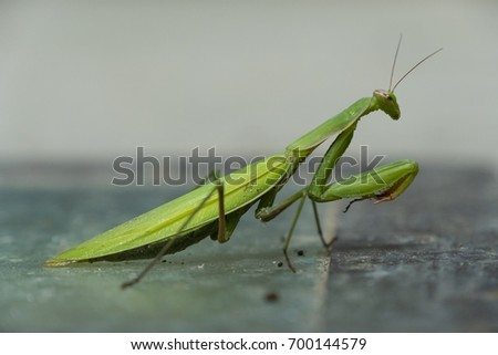 Female European Mantis or Praying Mantis, Mantide Religiosa Foto stock ©