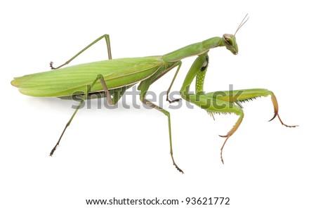 Female European Mantis or Praying Mantis, Mantis religiosa, in front of white background Foto stock ©