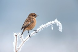 Female European stonechat on a frosted perch in winter