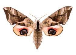 Female eyed hawk-moth (Smerinthus ocellatus) isolated on white background