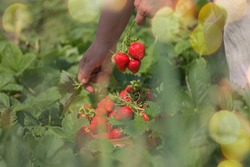 Female farm worker harvesting red strawberry in garden. Strawberry growers working with harvest in greenhouse. Woman's hands are holding strawberries.