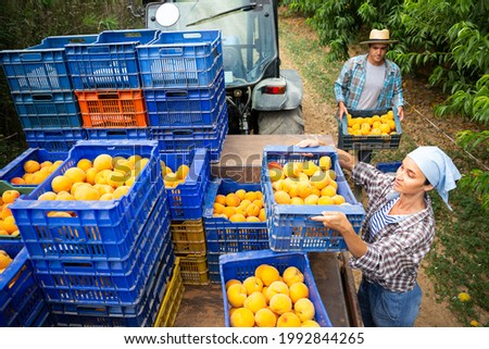 Female farmer puts boxes of ripe peaches on tractor platform for transportation to warehouse