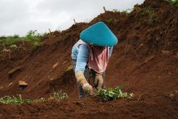 female farmers plant sweet potato seeds