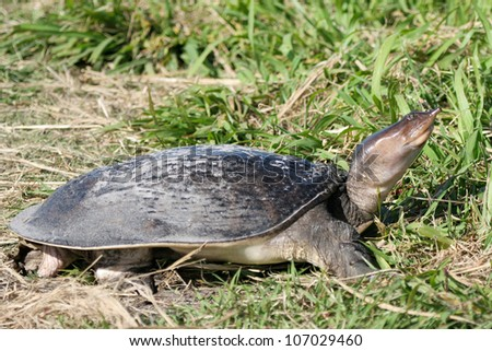 Female Florida Softshell Turtle after laying her eggs in the soft sand near a pond