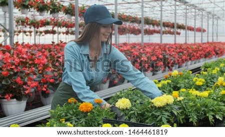 Female florist in apron examining and arranging flowerpot with red poinsettia on the shelf. Young woman in the greenhouse with flowers checks a pot of red poinsettia on the shelf.