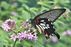 Female form of Common Mormon Butterfly (Papilio polytes) feeding on nectar from pink blossoms of Latana flower. This colorful butterfly is widely distributed across Asia.
