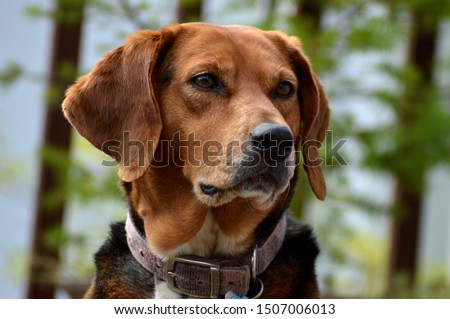 Female Fox Hound Hunting Dog #1507006013
