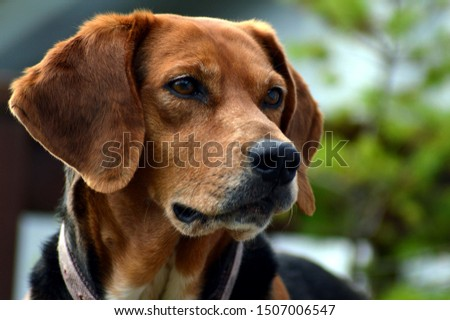 Female Fox Hound Hunting Dog #1507006547