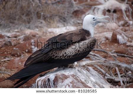 Female Frigate bird, Galapagos.