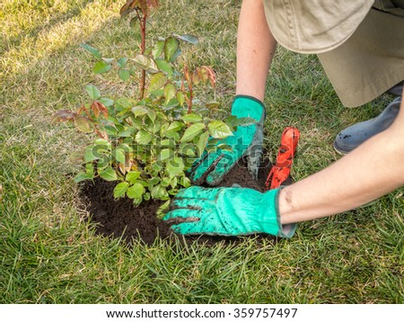 Female gardener planting rose shrub in the dug hole in her backyard garden #359757497