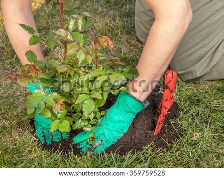 Female gardener planting rose shrub in the dug hole in her backyard garden #359759528