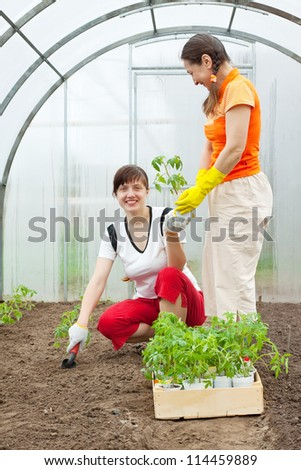Female gardeners planting tomato spouts in hothouse