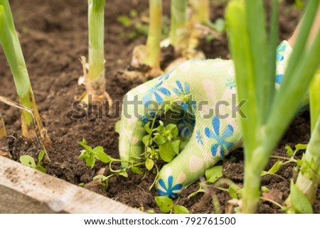 Female Gardening Weeding Weed Plants Grass In Vegetable Beds Of Onion Close Up. Weed Removal.