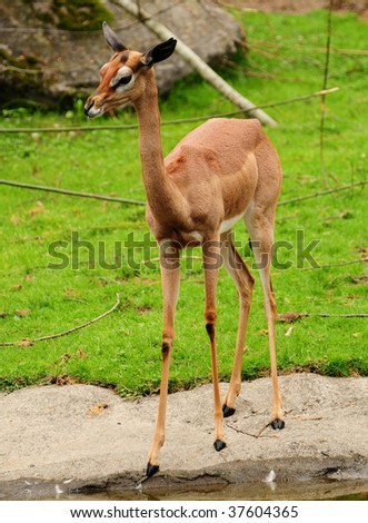 Female gazelle standing at the bank of the waterhole