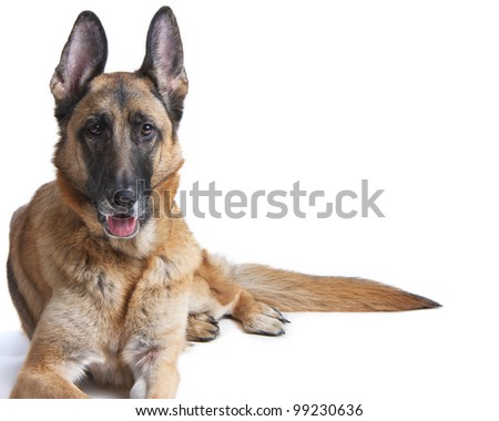 Female German Shepherd Dog on white laying down