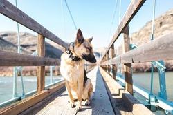 Female German Shepherd dog siting on a suspension bridge looking away from camera, she looks like a swan
